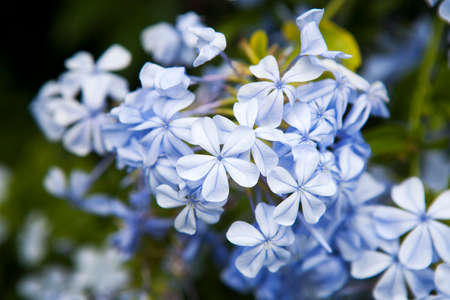 tropical shrub: Plumbago auriculata Lam. , widely known as Plumbago Capensis. Other common names: Cape Plumbago, Cape Leadwort, and Blue Plumbago. Tropical, evergreen, flowering shrub. Stock Photo