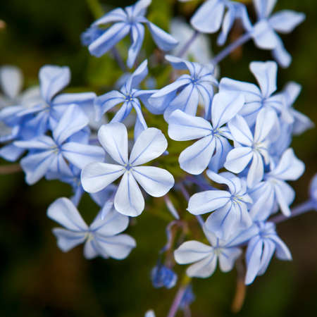 auriculata: Plumbago auriculata Lam. , widely known as Plumbago Capensis. Other common names: Cape Plumbago, Cape Leadwort, and Blue Plumbago. Tropical, evergreen, flowering shrub. Stock Photo