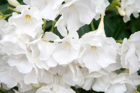 oleander: White oleander flowers as a background