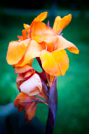 wyoming: Canna generalis Wyoming flower