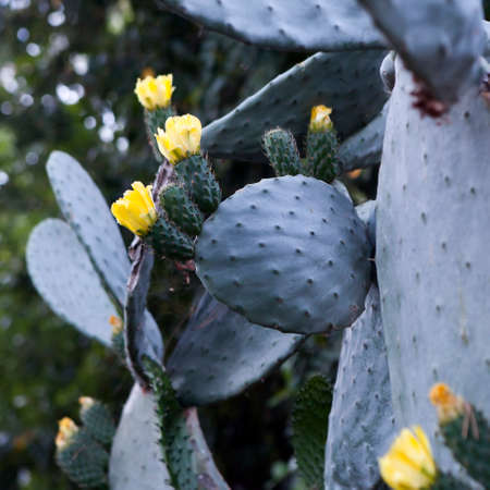 prickly flowers: Blooming Prickly Pear or Paddle cactus with yellow flowers in Spring desert, Arizona