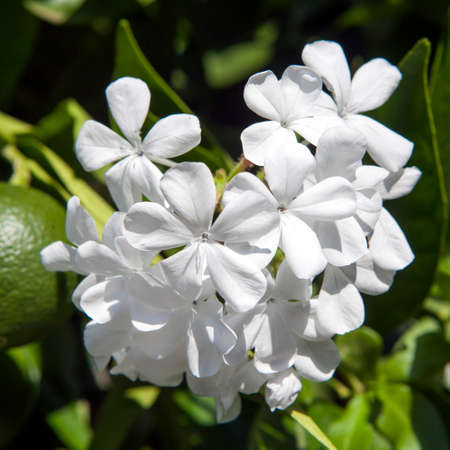 tropical shrub: white Plumbago auriculata Lam. , widely known as Plumbago Capensis. Other common names: Cape Plumbago, Cape Leadwort, and Blue Plumbago. Tropical, evergreen, flowering shrub. Stock Photo