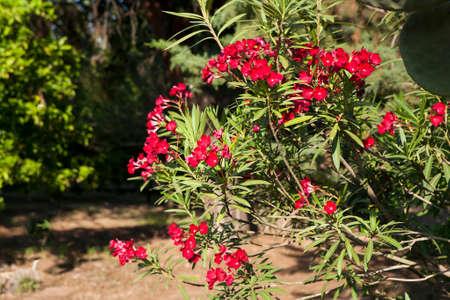 oleander: Oleander Flowers