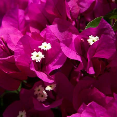 color bougainvillea: Bougainvillea paper flower in colorful color