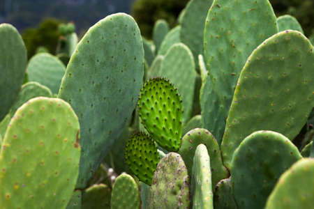 Sabra cactus green leaves Stock Photo