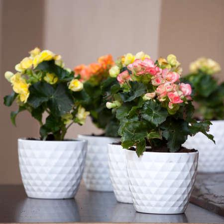 plantae: Pink Kalanchoe (Saxifragales Crassulaceae Kalanchoe) flower - selective focus on flowers