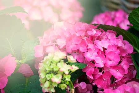 hydrangea macrophylla: Purple Hydrangea flower (Hydrangea macrophylla) in a garden