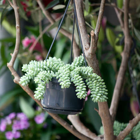 burro: Burros Tail or Jelly Bean Plant its the name of this succulent plant. Stock Photo