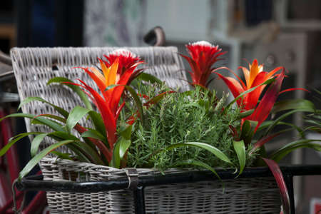 Billbergia Kyoto Bromeliad flowering and ornamental plants. ornamental red color a flowering plant in a wicker basket at the entrance to the store Stock Photo