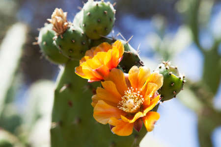 prickly flowers: Prickly pears cactus (Opuntia ficus-indica) with golden flowers.