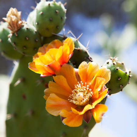Prickly pears cactus (Opuntia ficus-indica) with golden flowers.