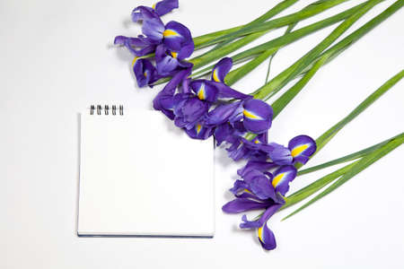 Violet Irises xiphium (Bulbous iris, Iris sibirica) on white background with space for text. Top view, flat lay Stock Photo