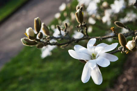 Spring in London. Magnolia stellata Rosea, White flower and bud opening on a tree