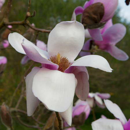 leonard: Spring in London. Magnolia Leonard Messel, Pink flower and bud opening on a tree