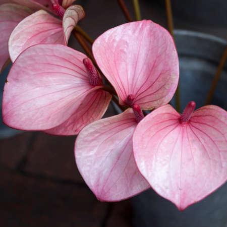 Red Calla (Bog Arum, Marsh Calla, Wild Calla, and Water-arum) is a genus of flowering plant in the family Araceae, containing the single species Calla
