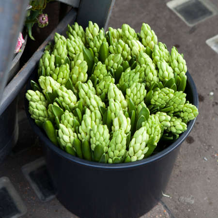 Wallpaper with bucket with green unblown hyacinths. Top view Stock Photo