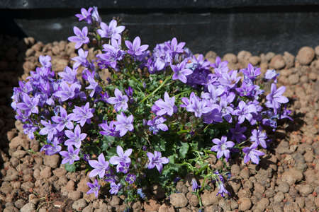 Wall or Dalmatian bellflower, Campanula portenschlagiana, blue rockery flower, Berkshire, June