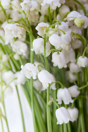 the Convallaria majalis, LILY OF THE VALLEY on the white background