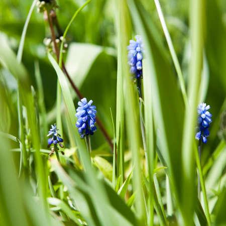 Muscari aucheri Blue Magic , Grape hyacinth - March