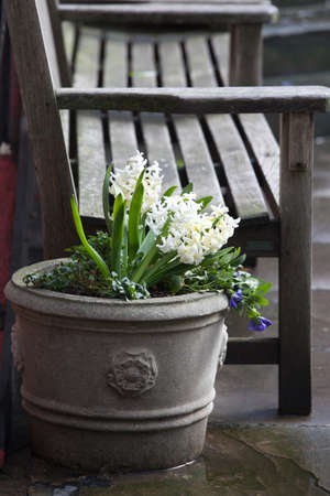 White hyacinths and blue violets growing in a large ceramic vase as a decoration of the entrance to the church against the backdrop of a brick wall. Stock Photo