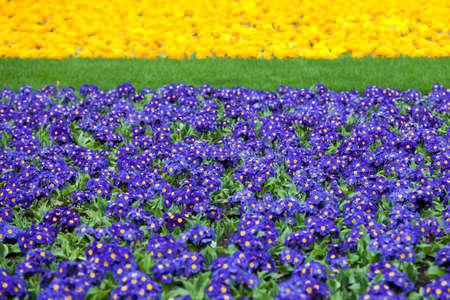 botanics: the blue Primrose on the lawn as a garden ornament Stock Photo