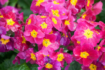 botanics: the pink Primrose on the lawn as a garden ornament