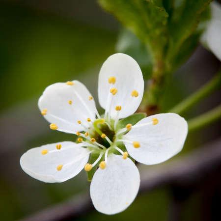 春に桜の花のクローズ アップ。雄しべと雌しべ 写真素材