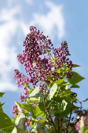 Lilac flowers against the blue sky on a bright sunny day