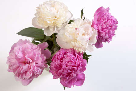 Cerise Pink and white Peony Flowers on the wooden white table Фото со стока