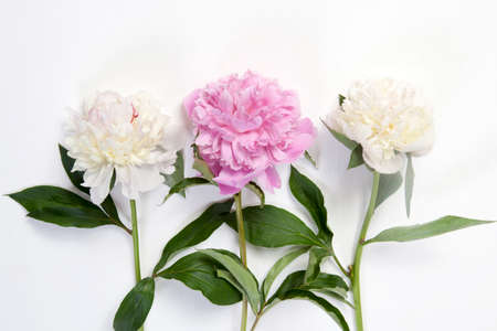 Cerise Pink and white Peony Flowers on the wooden white table Stockfoto