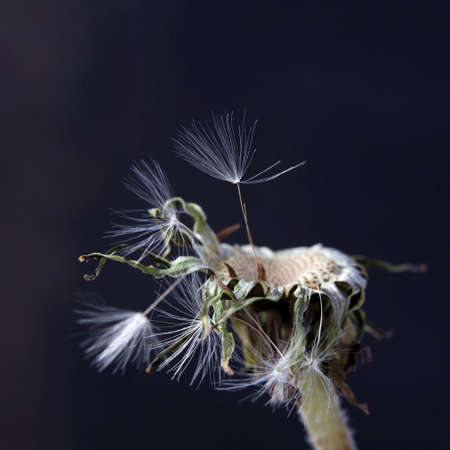 dandelion with seeds ready for dispersal isolated on black background