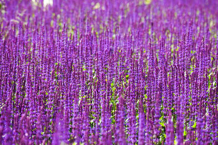 fictional: Sage, Salvia nemorosa Ostfriesland, Mauve