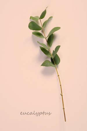 asmanian Blue Gum, Blue Gum Eucalyptus (Eucalyptus globulus), twig with leaves, studio picture. Card. Copy space Фото со стока