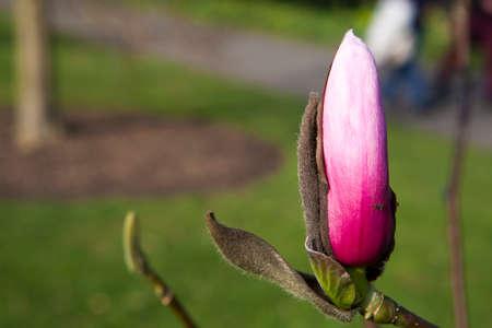 Magnolia bud abstract close up