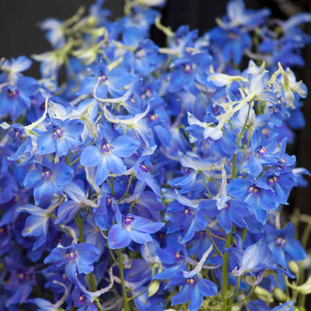 Bouquet of Columbine flower buds for wedding celebrations