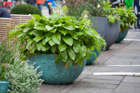 LONDON, ENGLAND - September 11, 2017 Covent Garden is decorated with huge vases with Hosta
