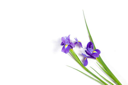 Violet Irises xiphium (Bulbous iris, sibirica) on white background with space for text. Top view, flat lay. Holiday greeting card for Valentine's Day, Woman's Day, Mother's Day, Easter! Stock Photo - 93784583