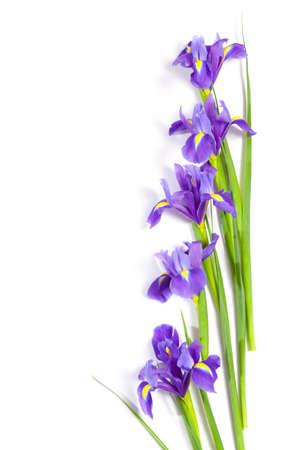 Violet Irises xiphium (Bulbous iris, sibirica) on white background with space for text. Top view, flat lay. Holiday greeting card for Valentine's Day, Woman's Day, Mother's Day, Easter! Stock Photo - 93410977