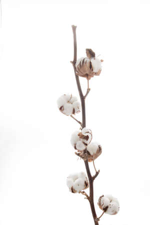 Branch with cotton isolated on white background Stock Photo