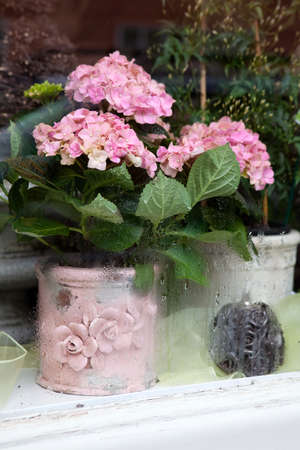 the pink hydrangea in the pot in window of shop Stock Photo
