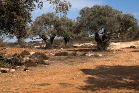 Olive Trees on the Slopes of the Mountains of Samaria, Israel Archivio Fotografico