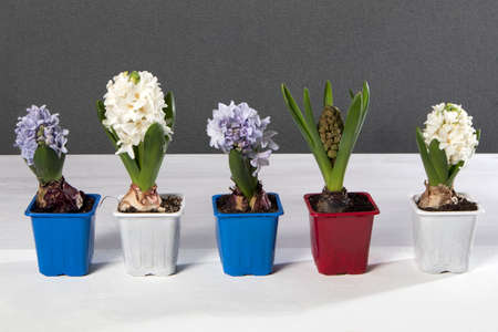 White and blue hyacinths in pots decorate the table.
