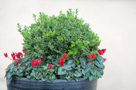 Boxwood, bordered with beautiful cyclamens in a large tub, decorates the wall of the house