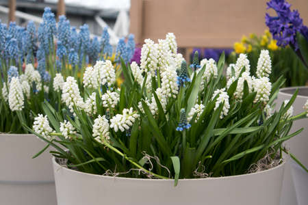 White Muscari in the vase in the botanical garden in spring