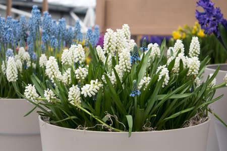 White Muscari in the vase in the botanical garden in spring