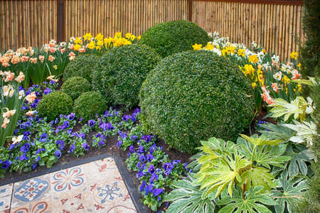 Round bowls of boxwood as an example of landscape design in the botanical garden of Keukenhof in the spring