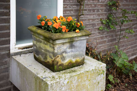 Yellow, orange violets in a stone vase in a restaurant Stock Photo