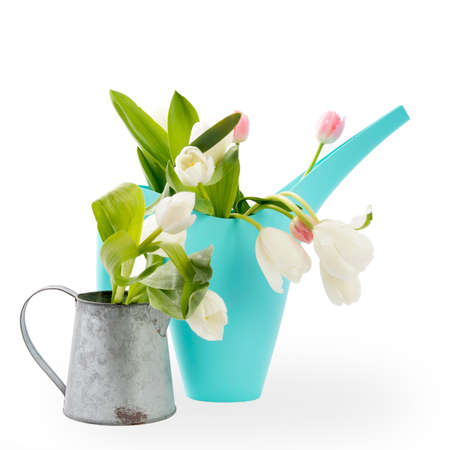 the Blue plastic watering can with a bouquet of flowers of yellow daffodils and white and pink tulips on the white background. Garden accessories.
