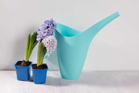 blue watering can on the white background. Garden accessories. Copy space