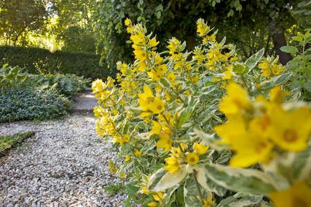 Beautiful yellow perennial flowers of lysimachia punctata grow beautiful yellow perennial flowers of lysimachia punctata grow in summer garden stock photo 104341782 mightylinksfo